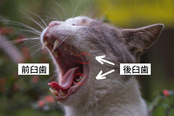 門歯、犬歯以外の猫の歯を臼歯と言います。中でも乳歯時代からある臼歯を前臼歯、生え変わり後に出てくる奥の歯を後臼歯と言います。