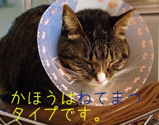 肉球間の炎症を治すためにエリザベスカラーを付けて寝ている猫