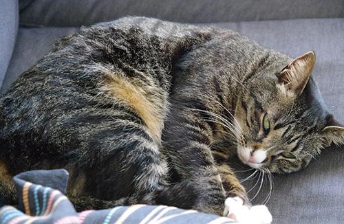ソファーの上で寝ている猫