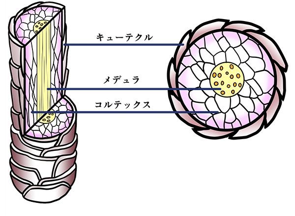 髪内部の構造